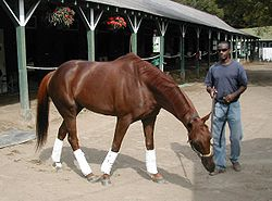 Horse Racing Photos - Funny Cide - Funny with his exclusive hotwalker