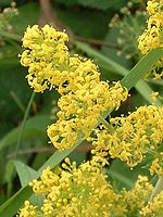 Horse Racing Photos - Epsom Downs - <i>Galium verum</i> (L.) Lady's Bedstraw