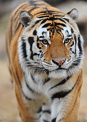 College Football Photos - LSU - Mike the Tiger