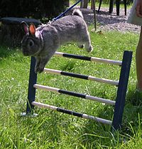 Sports Photos - Rabbit Show Jumping - Rabbit jumping over a fence at a competition.